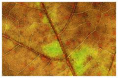 Herbstblatt Struktur (GST Foto's) Tags: macromondays backlite autumn leaf blatt herbstblatt struktur