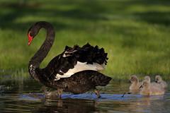 Black Swan and Cygnets (blachswan) Tags: ballarat victoria australia lakewendouree spring blackswan cygnusatratus cygnets blackswancygnet blackswancygnets water flood splash splashing