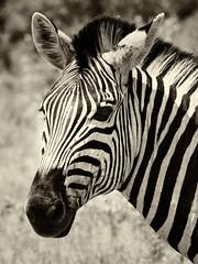 Zebra portrait (Sheldrickfalls) Tags: zebra plainszebra burchellszebra stripes bw blackandwhite kuduprivatenaturereserve kuduranch kpnr lydenburg mpumalanga southafrica