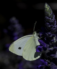 Butterfly_SAF7529-1 (sara97) Tags: missouri butterfly flyinginsect insect nature outdoors photobysaraannefinke pollinator saintlouis copyright2016saraannefinke