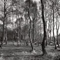 Stanton Moor Birches B&W (CactusD) Tags: monochrome blackandwhite bw stantonmoor derbyshire peak peakdistrict district stanton moor landscape england nikon d800e fx texture uk nationalpark national park unitedkingdom gb 24mmf35pce 24pce 24mm f35 pce tiltshift tree woodland moorland trees treescape