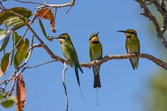 Three's a crowd  DSC_9329 (BlueberryAsh) Tags: darwin pinecreek rainbowbeeeater bird topendbird australianbird tamron150600 nikond750