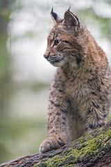 Young lynx sitting on branch (Tambako the Jaguar) Tags: sitting branch posing profile portrait lynx big cat wild brown young male parcanimalier saintecroix park parc rhodes zoo france nikon d5