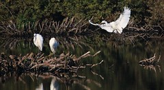 Great white Egrets- (Mick Lowe) Tags: bird lake flight great white egret wader