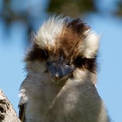 Kookaburra (rinse cycler) Tags: australianwildlife kookaburra bird