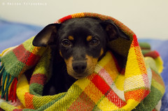 Winter is coming (Raissa Fitzgerald Photographer) Tags: luppola animals dog doglove pinscher love cute sweet winter home dolce cane amore coccole hugs