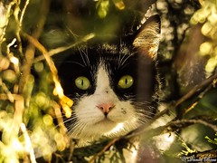Eyes in tree (Daniel Boca) Tags: eye eyes cat animal animals colour colours colorful color colors green light sunlight autumn november nature tree trees closeup detail details outdoor outside