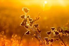 velvet lined leaf (Christian Collins) Tags: fall sunset golden orange velvet velvetleaf stem ef70200mmf4lusm canon midland michigan mi weed dried