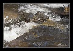 Returning Chum Salmon (the_coprolite) Tags: chum salmon coquitlam portcoquitlam bc britishcolumbia hoycreek lafargelake canada nikon d750 sigma 150600mm