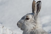 Winter Hare (Gowild@freeuk.com) Tags: winter wildlife workshops mountainhare lepustimidus scotland aviemore cairngorms andrewmarshall wild animal nature springwatch photo tuition hare hares snow white nikon d4