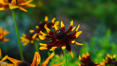 flowerpower (Urs Walesch) Tags: blume flower yellow summerfeeling summer nature