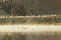Guten Morgen ([-ChristiaN-]) Tags: swam schwan see nebel teich fog foggy misty mist bronze monochrome winter herbst autumn stimmung