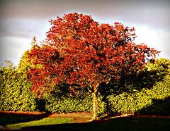 Young Tree in Summer, Forfar, Scotland (ronramstew) Tags: forfar angus scotland summer dundeeroad
