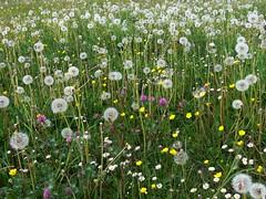 Fritzlar Blumenwiese P1020414 (martinfritzlar) Tags: fritzlar schwalmederkreis nordhessen hessen wiese blumenwiese blumen pusteblume lwenzahn meadow flowers dandelion