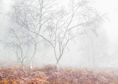 The Three Sisters (Vemsteroo) Tags: 50140mm birch bracken derbyshire fall forest fuji fujifilm lrthefader landscape moor nature peakdistrict stanton surpriseview trees woodland xt2 autumn colourful ethereal atmospheric beautiful outdoors morning sunrise fog mist