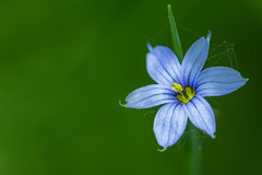 Blue-Eyed Grass (Bernie Kasper) Tags: art berniekasper blue blueeyedgrass cliftyfallsstatepark cliftyfalls color d600 effect eyes flower family floral flowers green hiking indiana jeffersoncounty light leaf leaves madisonindiana macro madisonindianacliftyfallsstatepark madison nature nikon naturephotography new outdoors outdoor old outside outdors photography plant plants raw spring statepark travel wildflower wildflowers