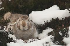 Mountain Hare (Derbyshire Harrier) Tags: mountainhare winter snow heather moorland derbyshire darkpeak 2016 peakdistrict peakpark november wintercoat s
