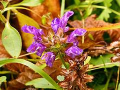 autunno - fiorellino di montagna (perplesso42) Tags: fiorellino autunno montagna flowers autumn petitefleur mountain coth
