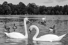 Cisnes en Hyde Park (Tito Garcia Nio) Tags: cisne urbano animales aves birds cignusolor ciudad england hydepark london londres naturaleza nature reinounido unitedkingdom