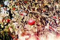 Spirit of Autumn. (Katka.On.Film) Tags: apples autumn nature tree light sun green red film analogue analog exa 35mm 35mmfilm garden