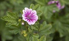 creeping colour (rumimume) Tags: potd rumimume 2016 niagara ontario canada photo canon 550d t2i sigma outdoor flower white purple green nature