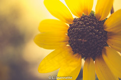 Sunny Flower in the Countryside (Lindsay Feldner) Tags: flower daisy blackeyedsusan countryside sunny hazy warmth yellow