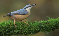 Nuthatch (oddie25) Tags: canon 1dx 600mmf4ii nuthatch nutty bird nature wildlife wales woodlandbird