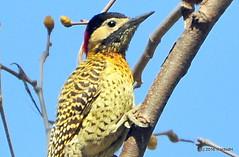 DSC_0589 (rachidH) Tags: birds oiseaux woodpecker pic greenbarredwoodpecker colaptesmelanochloros picvertetnoir carpinterorealnorteo bosquesdepalermo palermo woods buenosairesecologicalreserve reservaecolgicadebuenosaires reserve national park buenosaires argentina rachidh nature