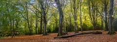 DOWNTIME (frattonparker) Tags: nikond600 tamron28300mm raw isleofwight btonner frattonparker woodland beech leaves trunk panorama