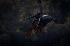Chiaroscuro (gseloff) Tags: brownpelican bird bif wildlife armandbayou pasadena texas kayakphotography gseloff