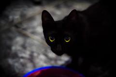 (Jos Mauricio Garijo) Tags: cat gato preto felinos olhar gatinho gatos olhos retratos agudossp