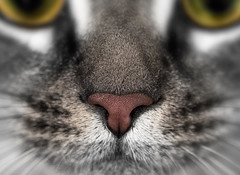 (donna leitch) Tags: cat macro animal pet snout