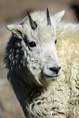 2810 (JerrysPhotographs) Tags: goat mammal mammals mountaingoat wildlife colorado mtevans