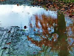 2016-11-19 Villers (26)puddle (april-mo) Tags: puddle flaque water rain mud deadleaves countrylife outdoors nord france