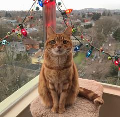 An Elsie Christmas (A.Davey) Tags: elsie orangecat rescuecat