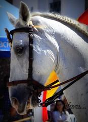 caballo (jlmm_morales) Tags: animal horse riding rider frigiliana malaga flange halter jinete brida español spanish