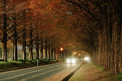 Autumn Evening (maco-nonchR) Tags: autumn fall road metasequoia driving avenue makino shiga takashima car lights stroll walk autumnleaves colour color headlight headlamp chilly evening manual allmanual tunnel famous spot    japanese popular