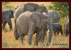 HERD OF AFRICAN ELEPHANTS (Loxodonta africana)....MASAI MARA....OCT 2012 (M Z Malik) Tags: nikon d700 80400mmf4556 kenya africa safari wildlife masaimara keekoroklodge exoticafricanwildlife elephants ngc npc