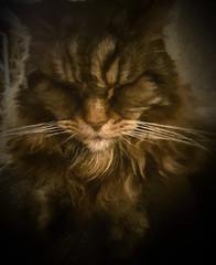 93-365v3 Sleepy Grumpy Cat (Mark Seton) Tags: grumpy sleepy cat elijah
