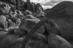 bow (ffoster) Tags: joshuatreenationalpark joshuatree landscape california park blackandwhite