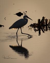 low sun egret (tsd17) Tags: egret winter uptonwarrennaturereserve worcestershirewildlifetrust canon7dmk11 sigma150600
