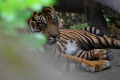 Cool tiger (dfromonteil) Tags: tigre tiger flin felino stripes orange green vert bokeh animal nature hidden look regard yeux eyes