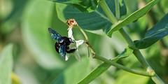 Carpenter Bee (2) (blueyshutta) Tags: carpenterbee kijaljetty terengganu malaysia bee blackbee nikon d750