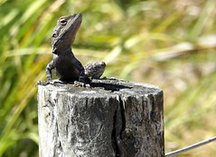 Dragon on the fence Post (Lynne's Images) Tags: australian lizard dragon fence reptile waterdragon