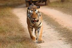 Munna continues his stroll (Chandrasekhar Bhattacharya) Tags: tiger kanha forest kisli jungle royalbengaltiger