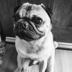 Heitu-00069-2 (kiddfei2012) Tags: pug dog pet puppy