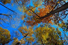 Arlington, VA (Atomic Eye) Tags: laceywoodspark arlington va virginia foliage trees fall autumn county sky trunks leaves blue red orange green yellow up nature fractal colorful