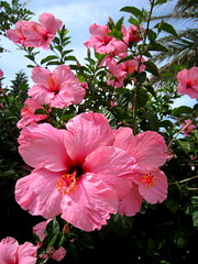 ccadiz 097 (elinapoisa) Tags: cadiz spain pink flowers españa
