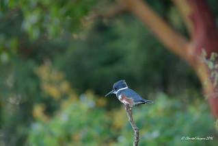Belted Kingfisher West Coast Style