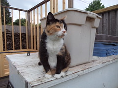 Autumn (universalcatfanatic) Tags: cats autumn tortoiseshell tortie calico orange black white cat sit sitting storage bin grey gray beige shed wood wooden skeleton tall fence pile piles back yard backyard spring deck blue green tree trees leaf leaves